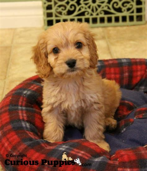 cockapoo puppies for sale in cockapoo puppies for sale in ontario dogs for sale puppies for sale in ontario