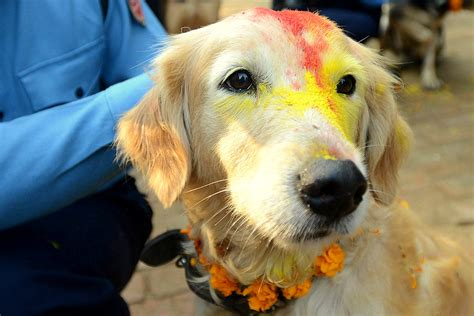 dogs are dogs are celebrated in nepal s kukur tahir festival