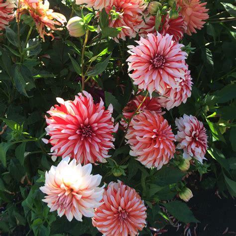 swan island dahlias canby oregon flirty fleurs