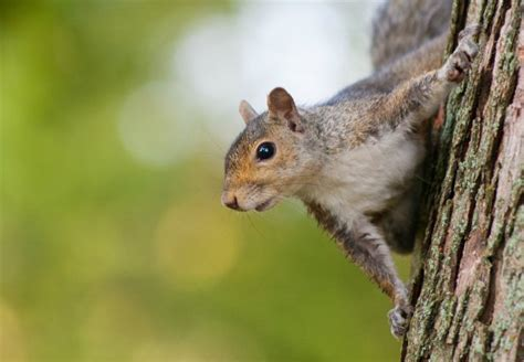 How To Get Rid Of Squirrels In The Backyard by How To Get Rid Of Squirrels Bob Vila