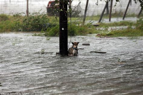 hurricane harvey dogs poor abandoned in as flood waters rise daily mail