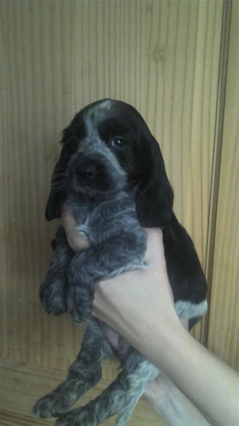 teacup cocker spaniel puppies for sale teacup puppies for sale uk west midlands breeds picture breeds picture