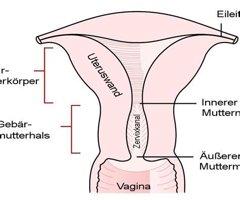 cervix diagram diagram of cervix wiring diagram
