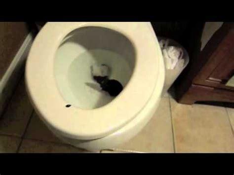 rat in the toilet