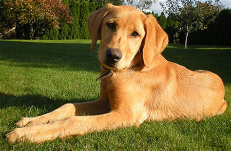 golden lab and golden retriever mix a lab golden retriever mix so sweet future ideas golden retriever