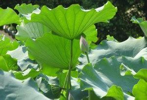 health benefits of lotus leaf sacred lotus leaf promotes weight loss