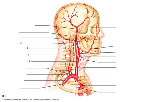 arteries in the neck diagram practical 1 physiology 202 with price at of