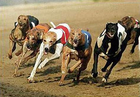 puppy race interest in greyhound racing is finally fading