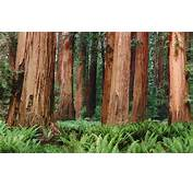 Nature Trees Forest Plants Ferns Leaves Redwood