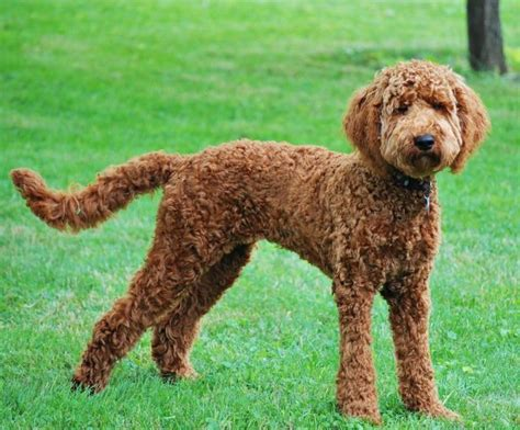 summer cuts golden doodle labradoodle haircuts for summer do you do a summer