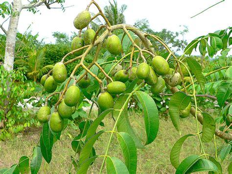 Tanaman Kedondong Bangkok Siap Buah manfaat dan khasiat buah kedondong