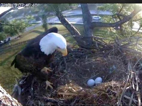 southwest florida eagle cam watch live video swfl eaglets hatching in progress