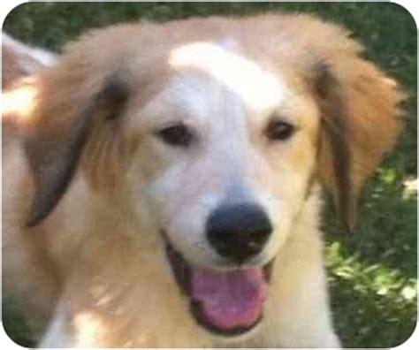 golden retriever and bernard mix deena adopted puppy cheshire ct golden retriever st bernard mix