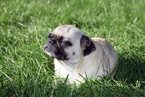 pug adoption adopt a pet pug pets world