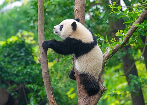 images of panda bears facts about the cuddly but sadly endangered