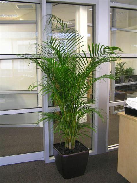 wohnzimmer palme wohnzimmer palme pflege raum und m 246 beldesign inspiration