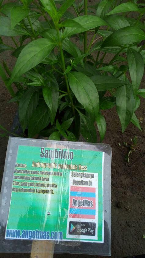 Bibit Tanaman Obat bibit tanaman daun sambiloto anget anget