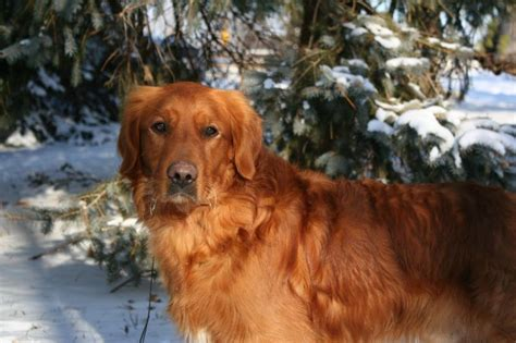 hilltop golden retrievers our boys stud dogs quality dogs akc beautiful