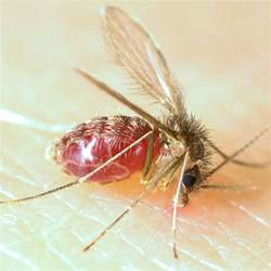 mosquito l lutzomyia