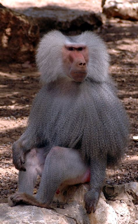 funshh world latest baboon animal wallpapers