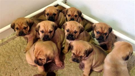 puggle puppies for sale gorgeous f1 puggle puppies for sale dorking surrey pets4homes