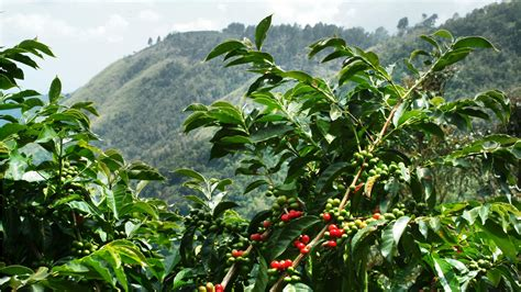 pohon kopi jamaica s blue mountain coffee ranks with world s best