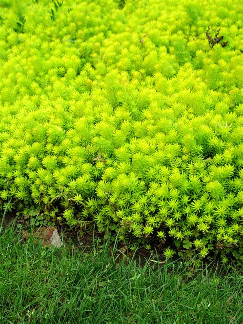 creeping sedum angelina garden housecalls