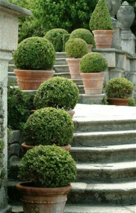 Boxwoods In Planters by Best 25 Boxwood Hedge Ideas On