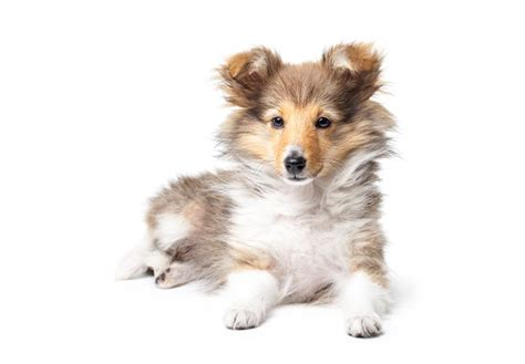 akc sheltie puppies for sale shetland sheepdog puppies for sale akc puppyfinder
