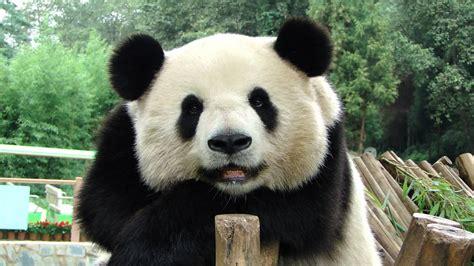 www panda yingying816 smiling panda si jia
