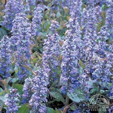 plant profile for ajuga reptans palisander carpet
