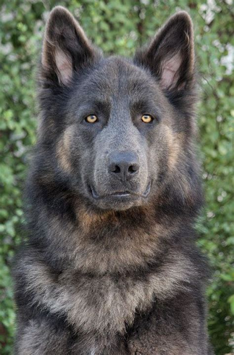 wolf shepherd puppies 1000 ideas about german shepherds on gsd puppies german shepherd puppies
