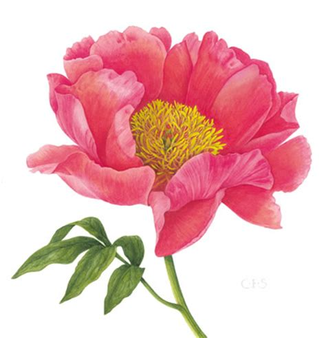 peony lactiflora flame watercolour by christine