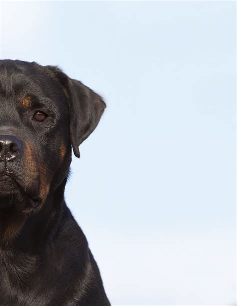 what were rottweilers bred for breed priorities rottweilers canine chronicle