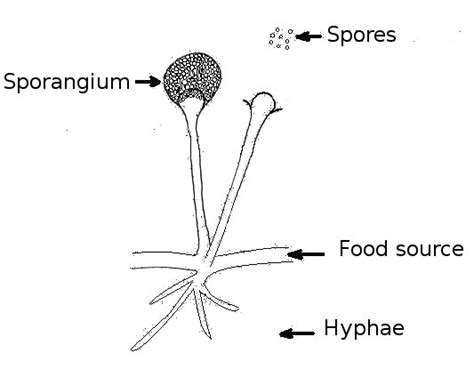 fungi diagram kingdom fungi structure characteristics and its