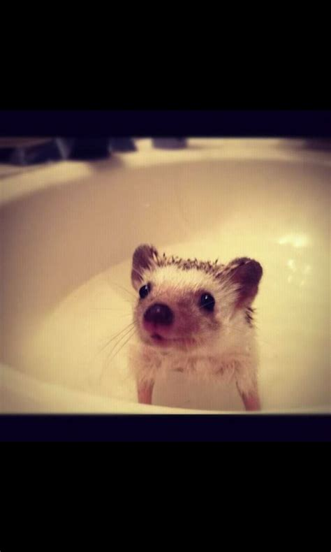 hedgehog bathtub my sister cute hedgehog and pets on pinterest