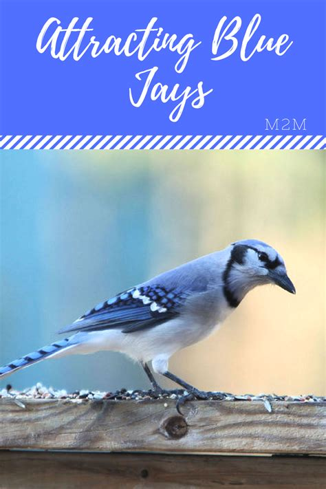 how to attract blue jays to your backyard mother2motherblog