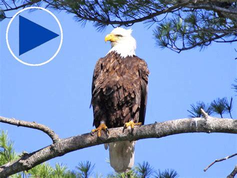 ustream pittsburgh bald eagles nest best image konpax 2017