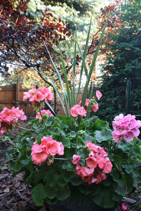 best scented geranium 17 best images about flowers geraniums on scented geranium window boxes and rosa