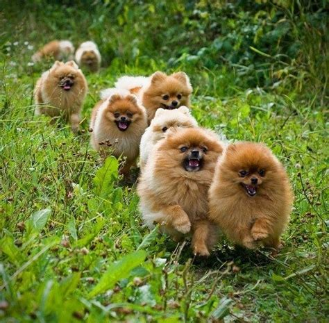 where did pomeranians come from 6625 best cuties images on animals dogs and puppies