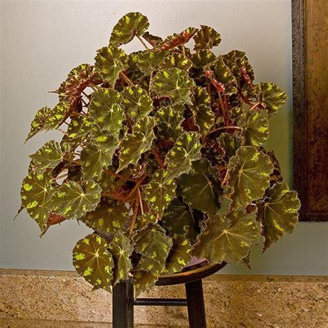 begonia kit kat begonia rhizomatous hybrid