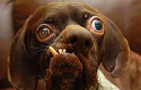 ojos salidos el perro mas gracioso del mundo taringa