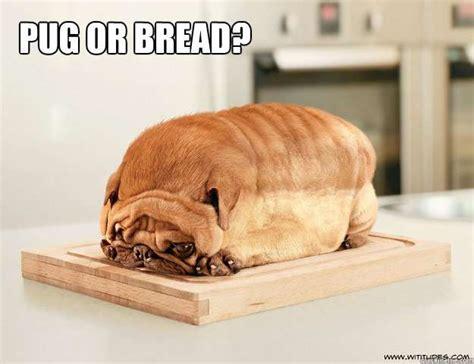 Sad Pug Meme - 10 pug meme that will make you rofl