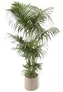 Indoor Palm by How To Take Care Of Indoor Bamboo Apps Directories