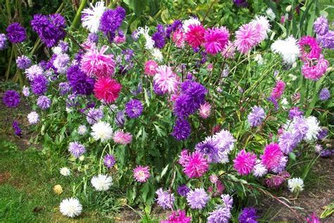flowers plants aster flower purple white pink aster flowers
