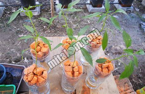 menanam hidroponik botol 16 tahap mudah menanam cabai hidroponik di botol bekas