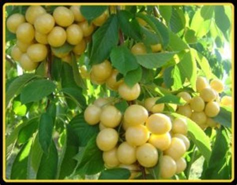 cherry tree yellow fruit yellow white cherry tree fruit plant seed pack delicious fruit easy to grow