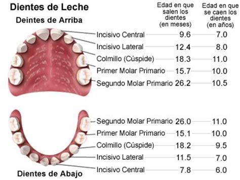 imagenes dientes temporales los 4 tipos de dientes y su funci 243 n
