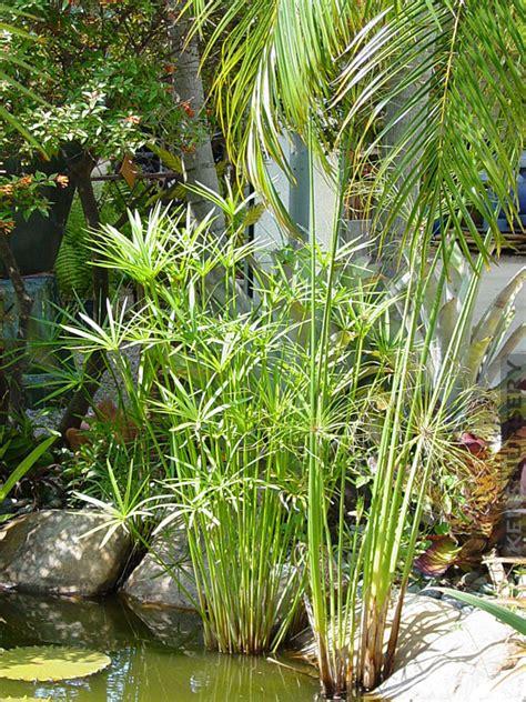 water loving cyperus papyrus umbrella plant kens nursery