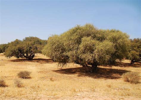 weight 65 kensington fir tree argan